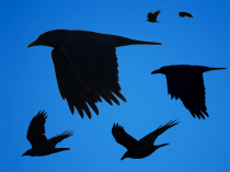 crows black and blue